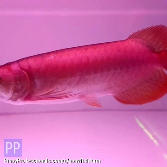Everything Else - Chili Red, Asian Red, Super Red Arowana fish and many other species for sale
